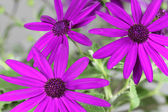 Senetti Pericallis - pink — Stock Photo