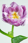Tulip Closeup, isolated — Stock Photo
