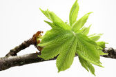 Buds and spring leaves of a chestnut tree (Aesculus hippocastanum) — Stock Photo