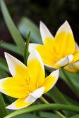 Diminutive Tulip (Tulipa tarda) — Стоковое фото