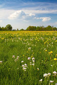 Spring meadow with blooming dandelion (Taraxacum) — Stock Photo