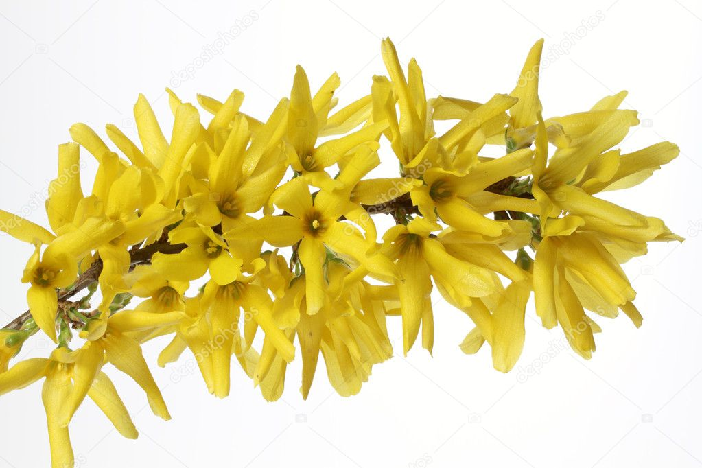 Blooming Forsythia — Stock Photo #9265440