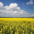 Blooming Rapeseed Field in Bavaria (Brassica napus) — Stock Photo