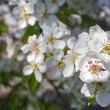 Blooming apple tree in spring — Stock Photo
