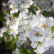 Blooming apple tree in spring — Stock Photo #9272175
