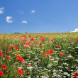 Poppy field in central Italy — Stock Photo