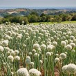 Stock Photo: Onionfield in Italy