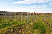 Vineyards in spring — Stock Photo
