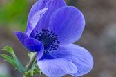 Poppy anemones (Anemone Coronaria) — Stock Photo