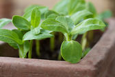 Sunflower sprouts (Helianthus) in a clay pot — Stock Photo