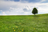 Single tree on a spring meadow — Stock Photo