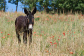 Donkey in Italy, Le Marche — Stock Photo