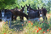 Herd of Donkeys in Italy, Le Marche — Stock Photo