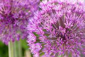 Rampa de florescência, abertura, closeup — Foto Stock