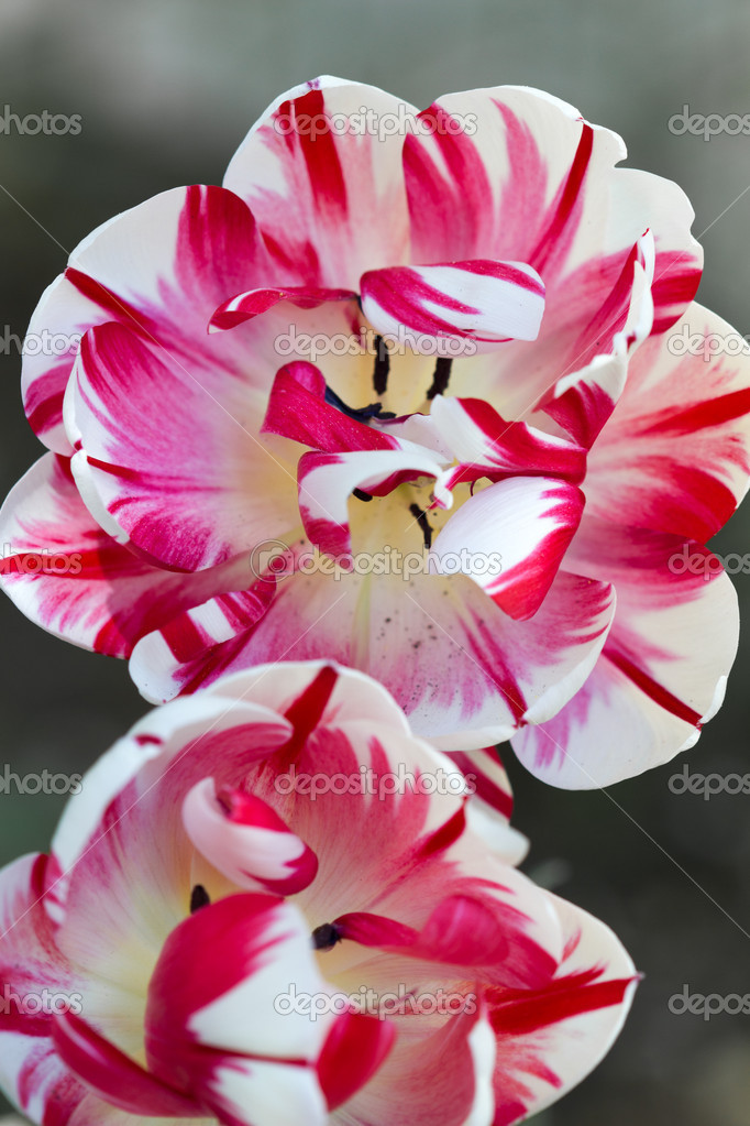 Tulip (Tulipa) Closeup — Stock Photo #9271523