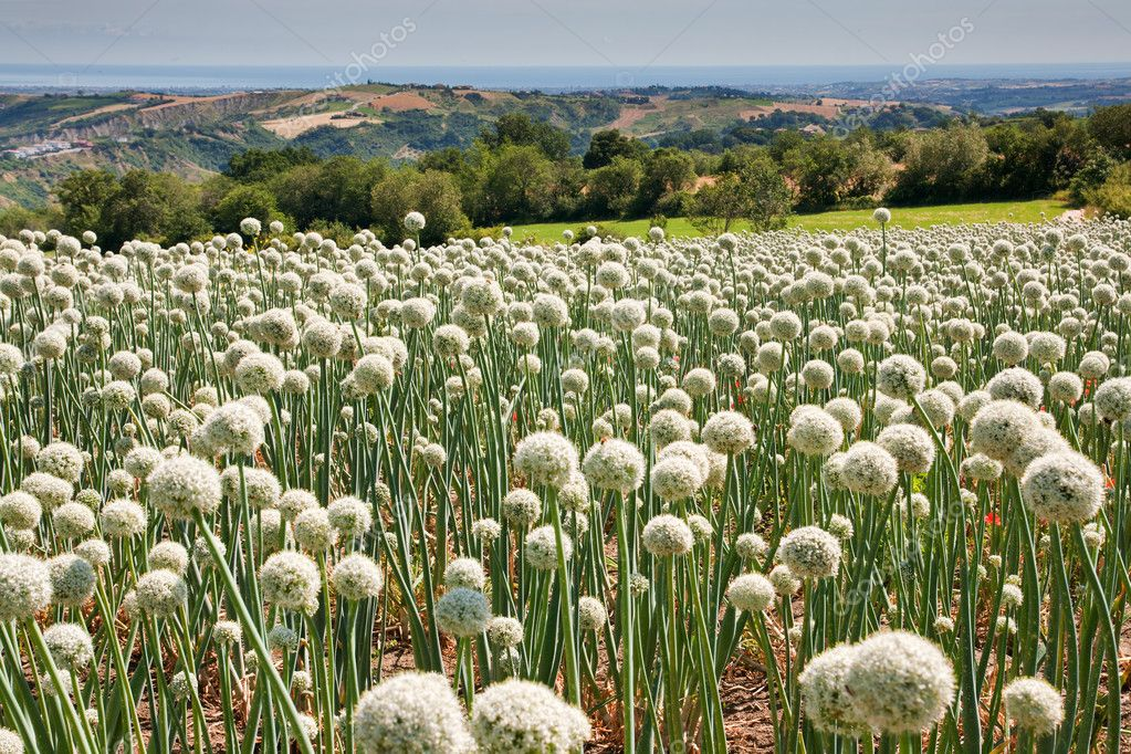 Flowering onionfield in Central Italy, le Marche — Stock Photo #9273199