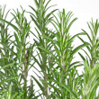 Rosemary (Rosmarinus officinalis) — Stock Photo