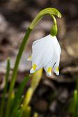 Spring snowflake (Leucojum vernum) — Zdjęcie stockowe