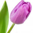 Single pink coloured tulip — Stock Photo
