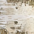 Birch bark closeup — Stock Photo