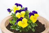 Viola cornuta flower in a pot on white background — Stock Photo