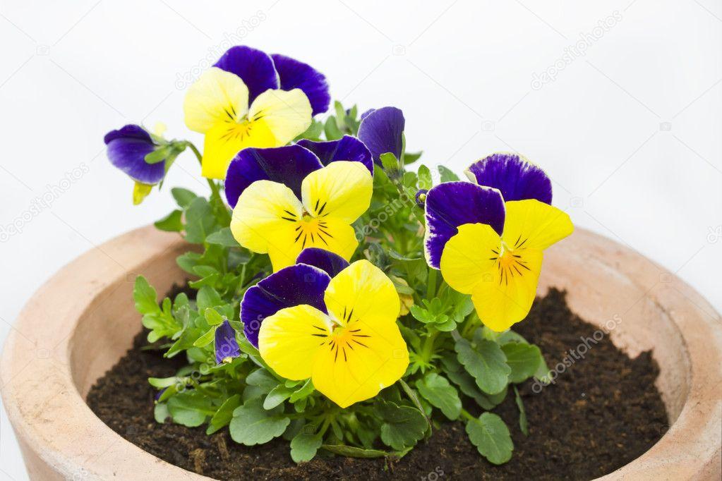 Цветы виола в горшках