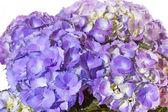 Purple Hydrangea flower — Stock Photo