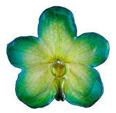 Apple- green orchid — Stock Photo