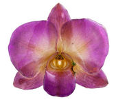 Violet-green orchid — Stock Photo