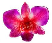 Purpurowa orchidea srokaty — Zdjęcie stockowe