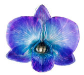 Orquídea azul abigarrada — Foto de Stock