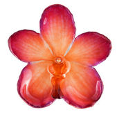 Pink-orange orchid — Stock Photo