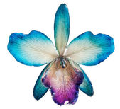 Blue orchid — Foto de Stock