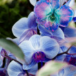 Blue-purple orchid — Stock Photo