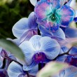 Stock Photo: Blue-purple orchid