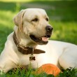 Portrait of gold labrador retriever — Stock Photo
