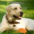 Stock Photo: Portrait of gold labrador retriever