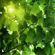 Green leaves of a maple, as a background — Stock Photo