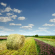 Field with beveled lavndoy against the blue sky — Stock Photo