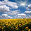 Field of sunflower against the sky — Stock Photo #9246092