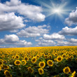 Field of sunflower against the sky — Stock Photo