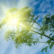 Winter cress and the sun - Stock Photo