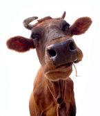Krowa na białym tle. to jest na białym tle — Zdjęcie stockowe