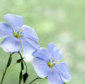 Flax flowers close up on the field — Stock Photo