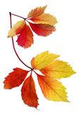 Maple leaf isolated on white — Stock Photo