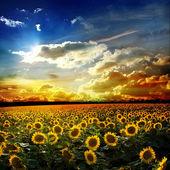 Fält av solrosor mot himlen — Stockfoto