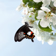 Butterfly on white flowers — Stock Photo #9672286
