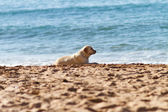 A dog at seaside — Stock Photo