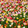 Royalty-Free Stock Photo: Field of tulips
