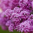 Blooming lilacs — Stock Photo